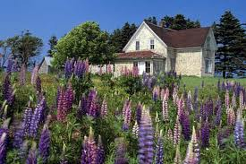 Summer with lupines, PEI