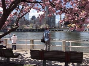 Cherry Blossoms on Roosevelt Island Facing Manhattan