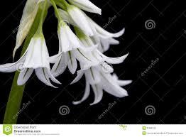 White Spanish bluebell