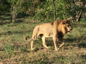 older male lion